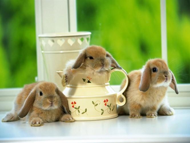 可爱的小兔子(三)