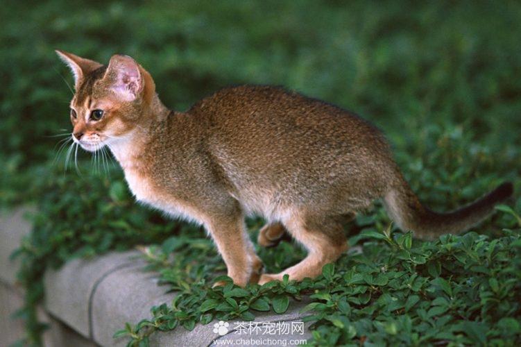 阿比西尼亚猫图片(七)
