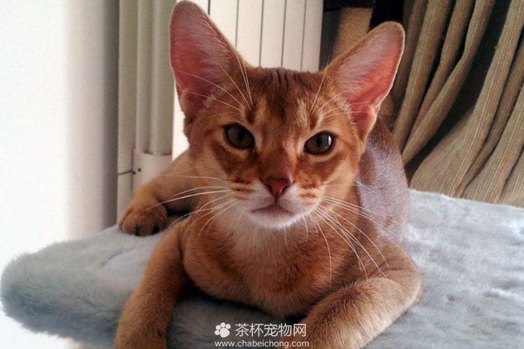 阿比西尼亚猫图片(八)