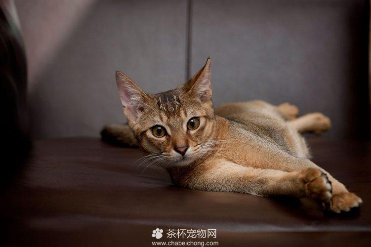 阿比西尼亚猫图片