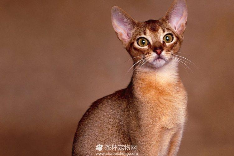 阿比西尼亚猫图片(二)