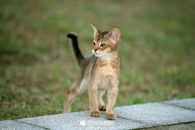 阿比西尼亚猫图片(三)