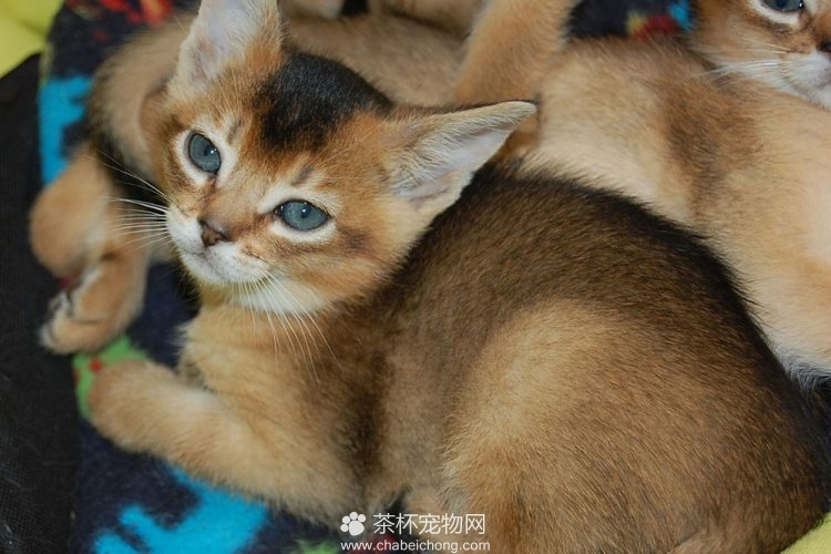 阿比西尼亚猫图片(四)