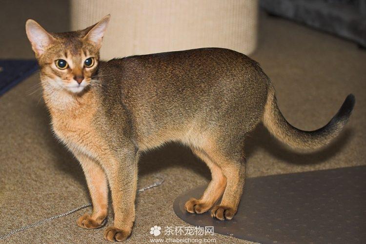阿比西尼亚猫图片(五)