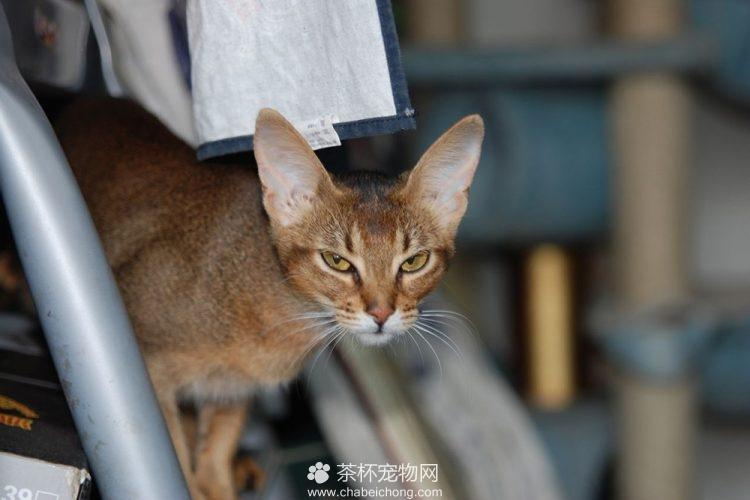 阿比西尼亚猫图片(六)
