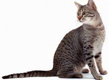 埃及猫图片