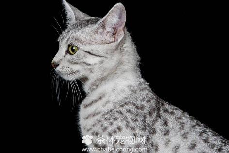 埃及猫图片(三)