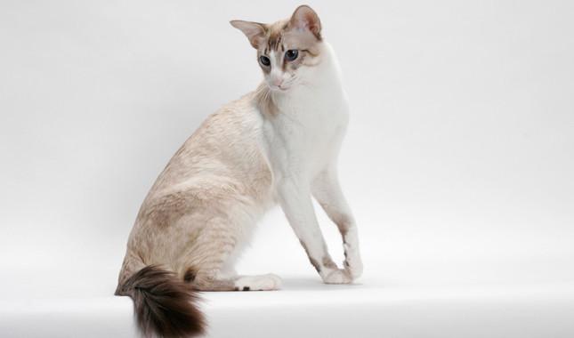 巴厘猫图片