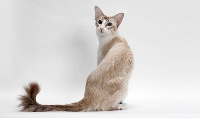 巴厘猫图片(二)