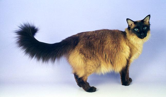 巴厘猫图片(五)