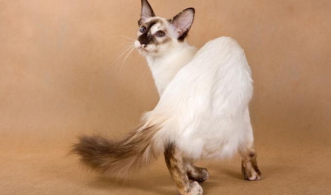 巴厘猫图片(六)