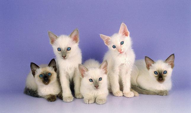 巴厘猫图片(八)