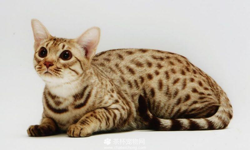 奥西猫图片