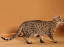奥西猫图片(三)
