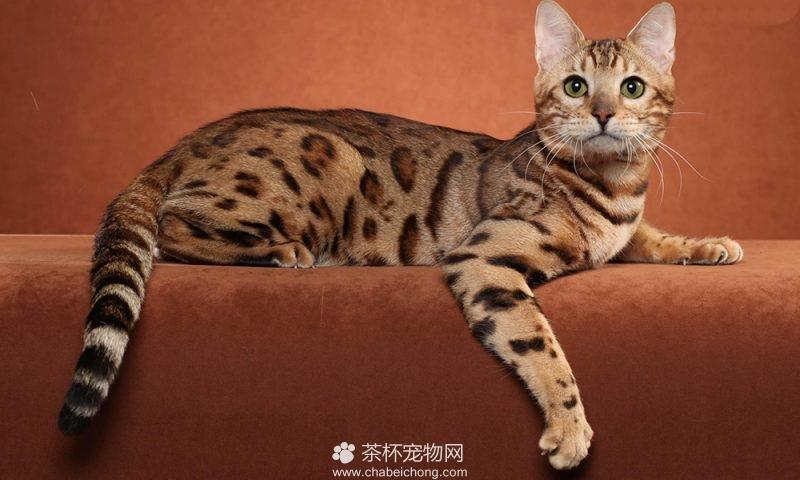 奥西猫图片(四)