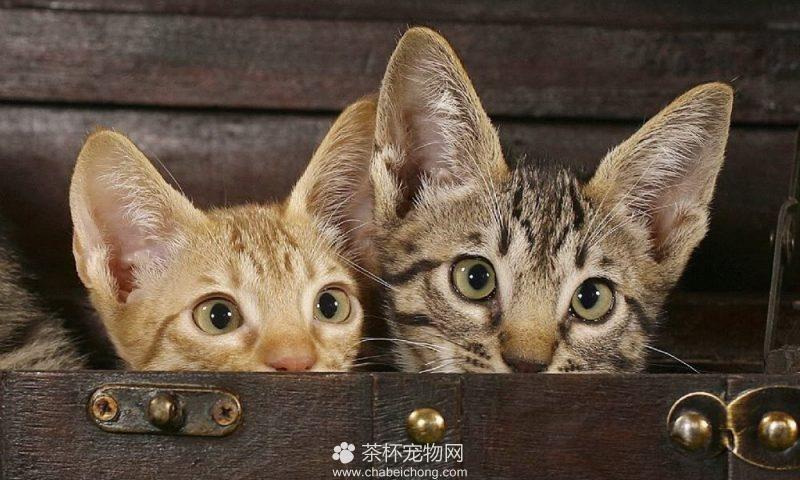 奥西猫图片(七)