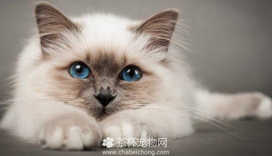 伯曼猫图片