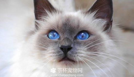 伯曼猫图片(二)