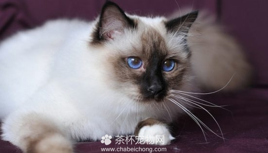伯曼猫图片(三)