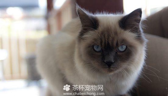 伯曼猫图片(四)