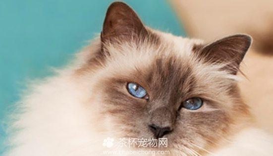伯曼猫图片(五)
