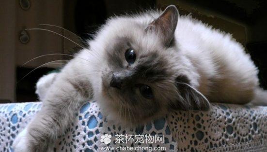 伯曼猫图片(六)