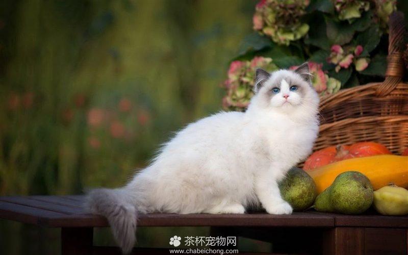 布偶猫图片(六)