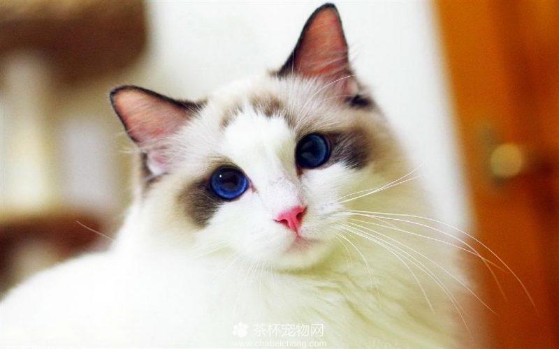 布偶猫图片(三)