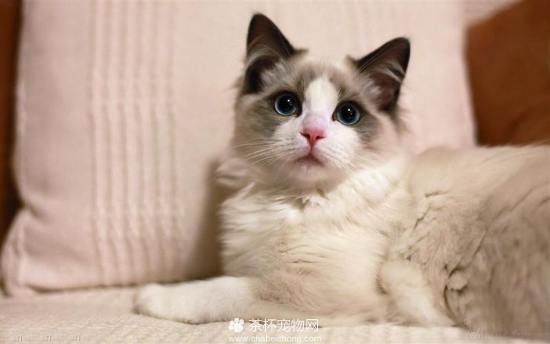 布偶猫图片(二)