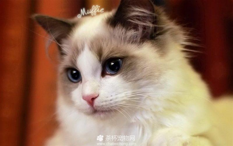布偶猫图片(四)