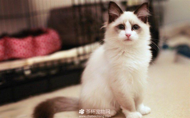 布偶猫图片(五)