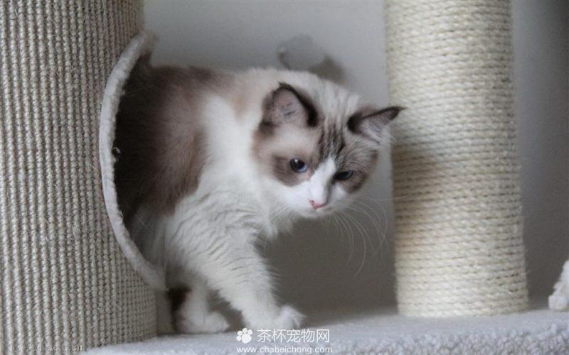 布偶猫图片(七)