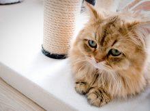波斯猫图片(三)