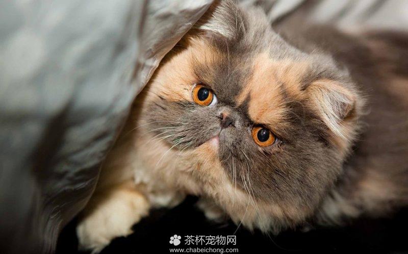 波斯猫图片(五)