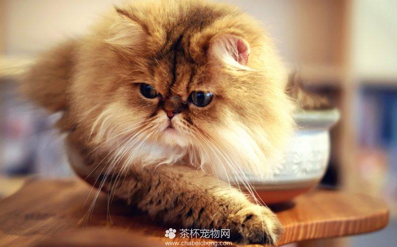波斯猫图片(六)