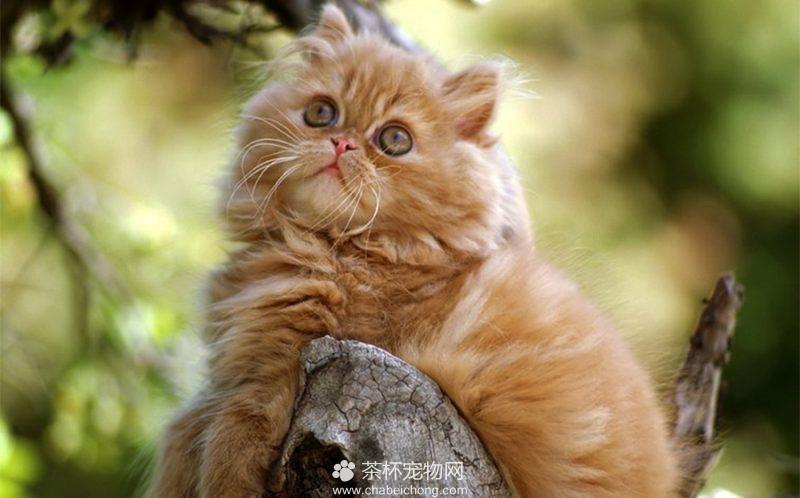 波斯猫图片(二)