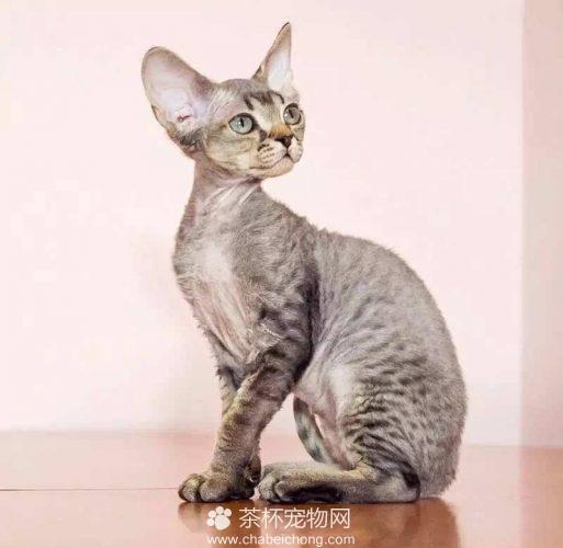 德文卷毛猫图片