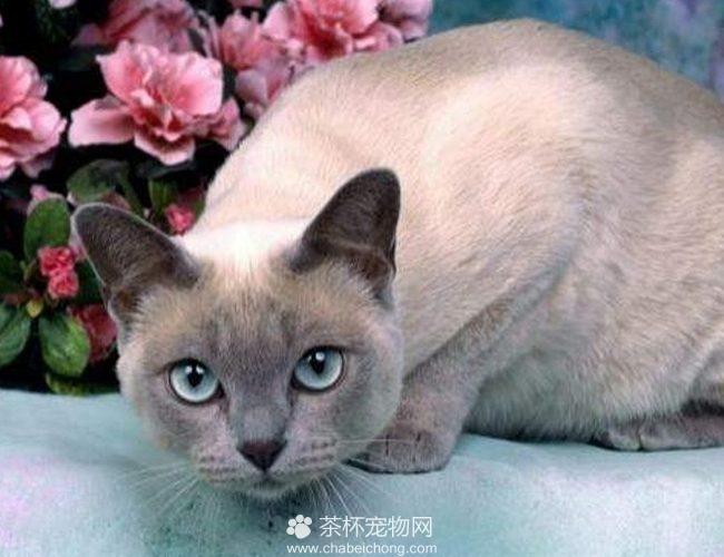 东奇尼猫图片(二)