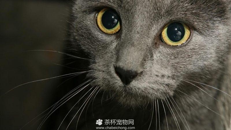 俄罗斯蓝猫图片(二)