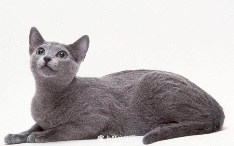 俄罗斯蓝猫图片(三)