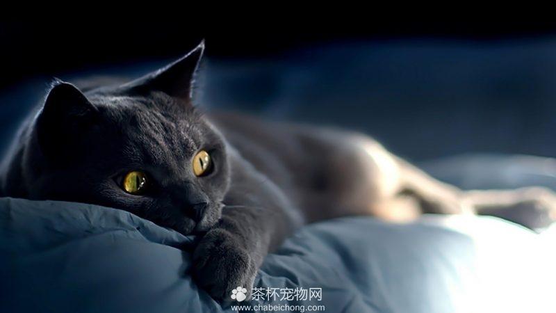 俄罗斯蓝猫图片(六)