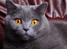 俄罗斯蓝猫图片(七)