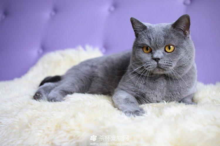俄罗斯蓝猫图片(八)