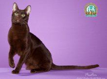 哈瓦那猫图片