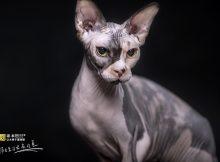 加拿大无毛猫图片