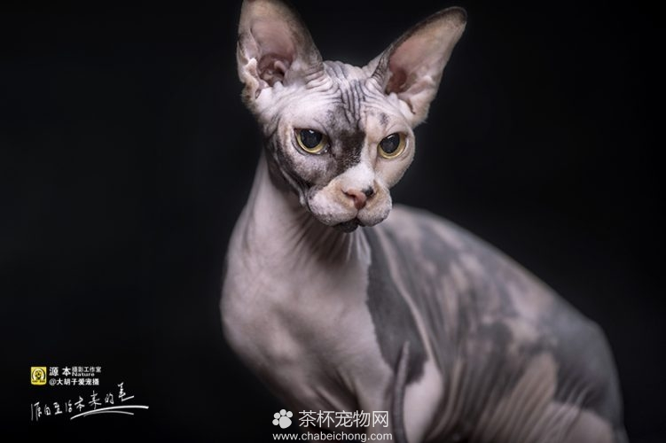 加拿大无毛猫 称斯芬克斯猫图片大全 - 茶杯宠物网