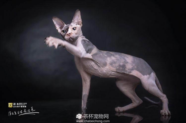 加拿大无毛猫图片(四)