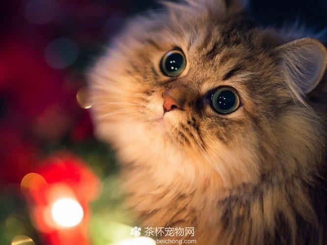 金吉拉猫(二)