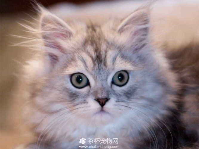 金吉拉猫(三)