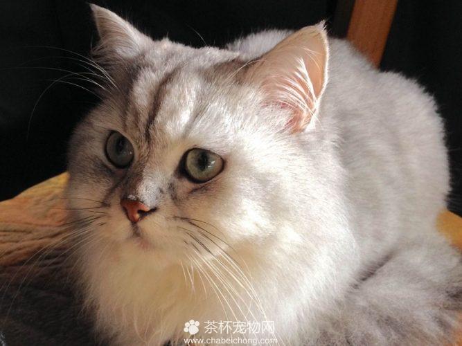 金吉拉猫(四)